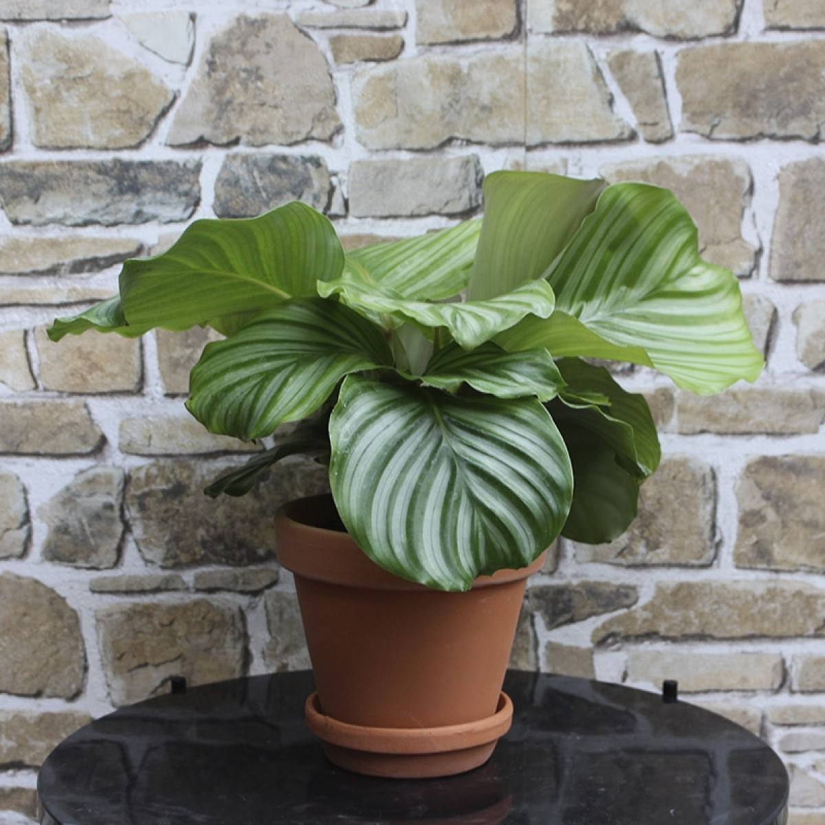 Calatheo Orbifolia