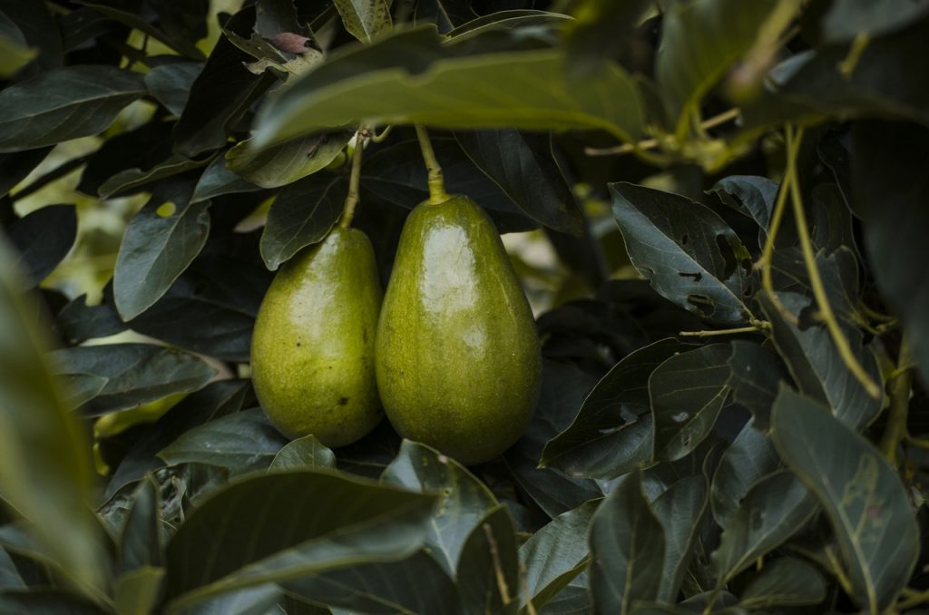 rijpe avocado 2