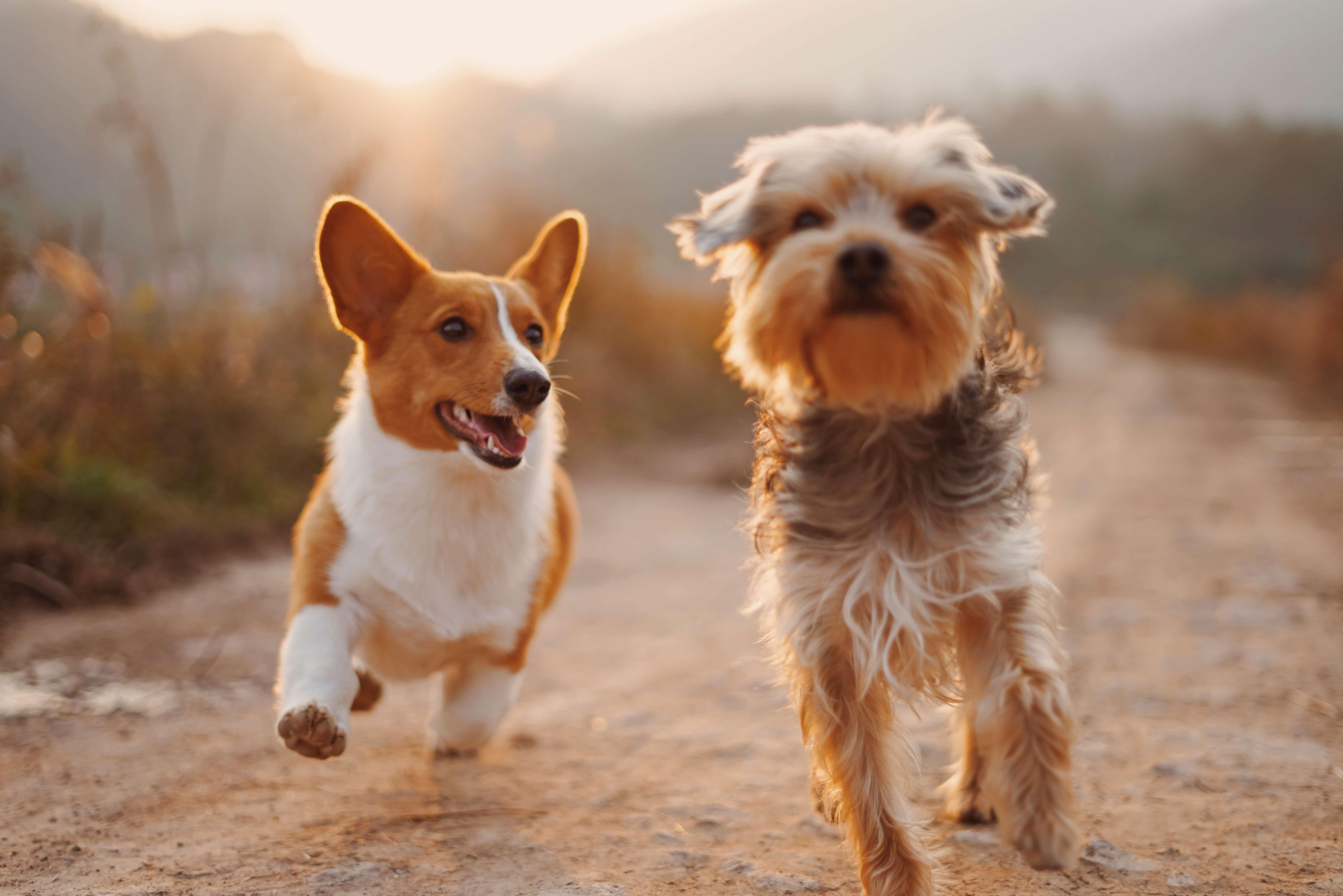 hond adopteren
