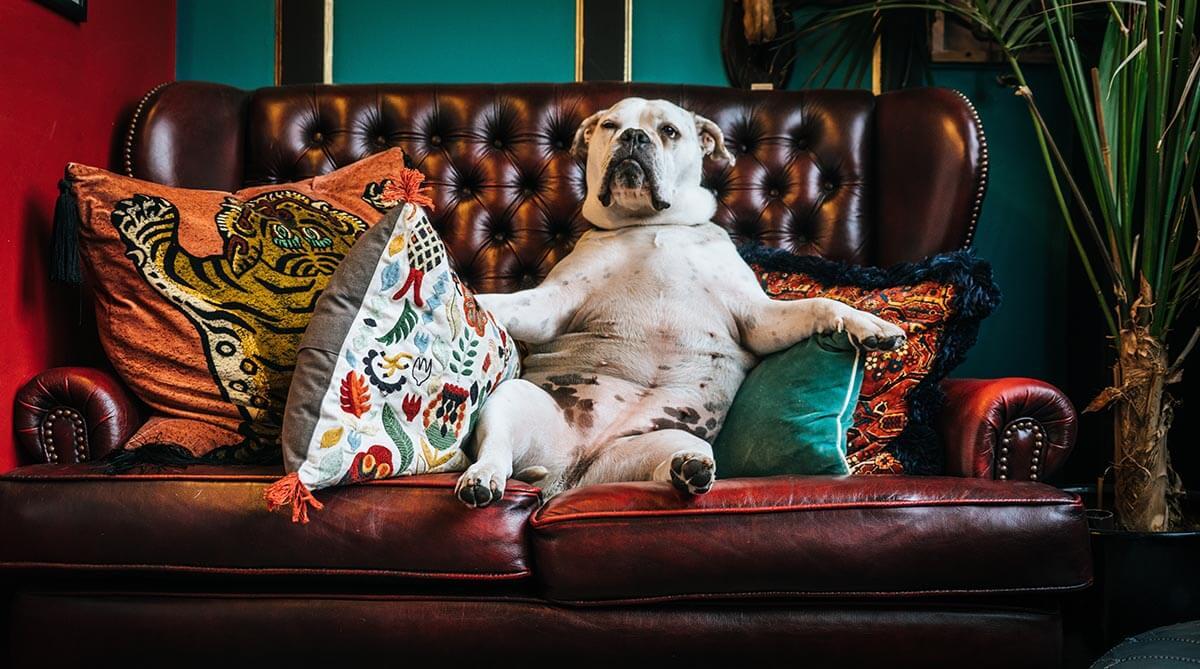 netflix ervaring bulldog op bank