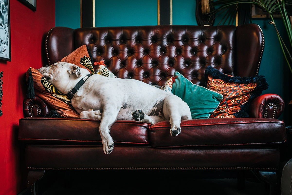 slapende bulldog