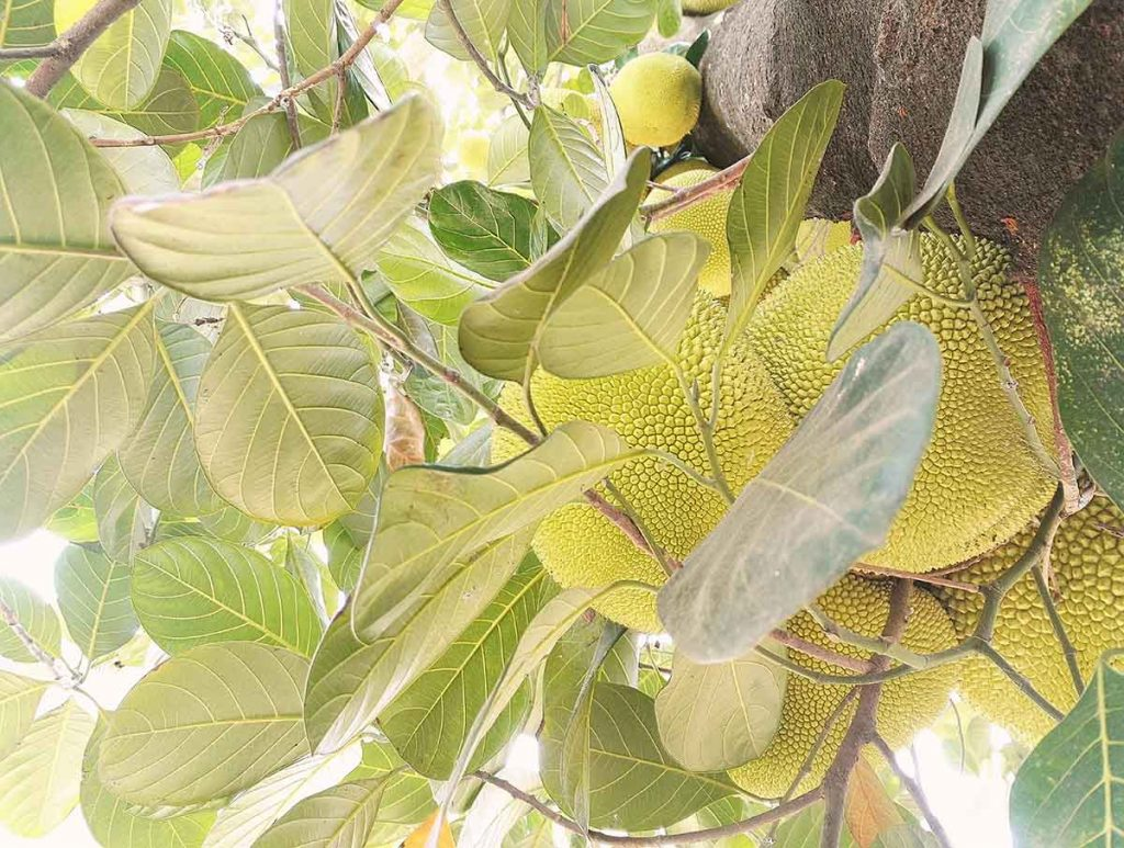 foodtrends-jackfruit-tipify
